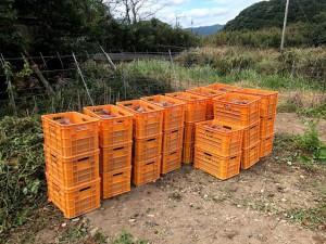 五島灘酒造芋取り作業 (24)